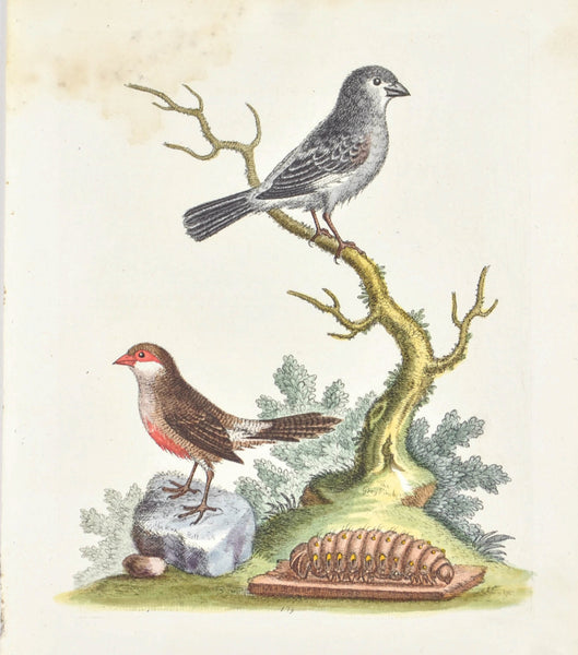 The Wax Bill & the Grey Finch by George Edwards c. 1743 Antique Bird Print