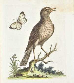 Brown Indian Thrush by George Edwards  c. 1743 Hand Colored Antique Bird Print