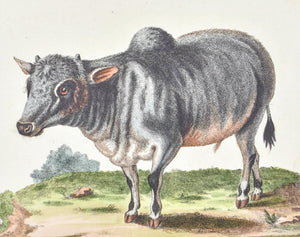 Little Indian Buffalo by George Edwards c. 1743 Antique Animal Print