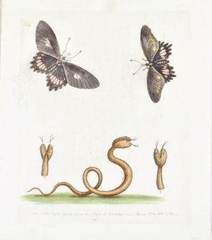 Double-headed Snake form the island of Barbados by George Edwards c. 1743 Print