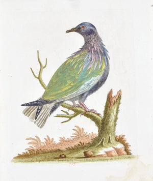 The Nicobar Pigeon by George Edwards  c. 1743 Hand Colored Antique Bird Print