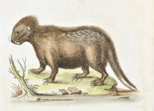 Porcupine from Hudsons Bay by George Edwards c. 1743 Antique Animal Print