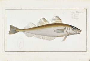 The Whiting by Marcus Bloch c. 1796 Hand Colored Antique Fish Print