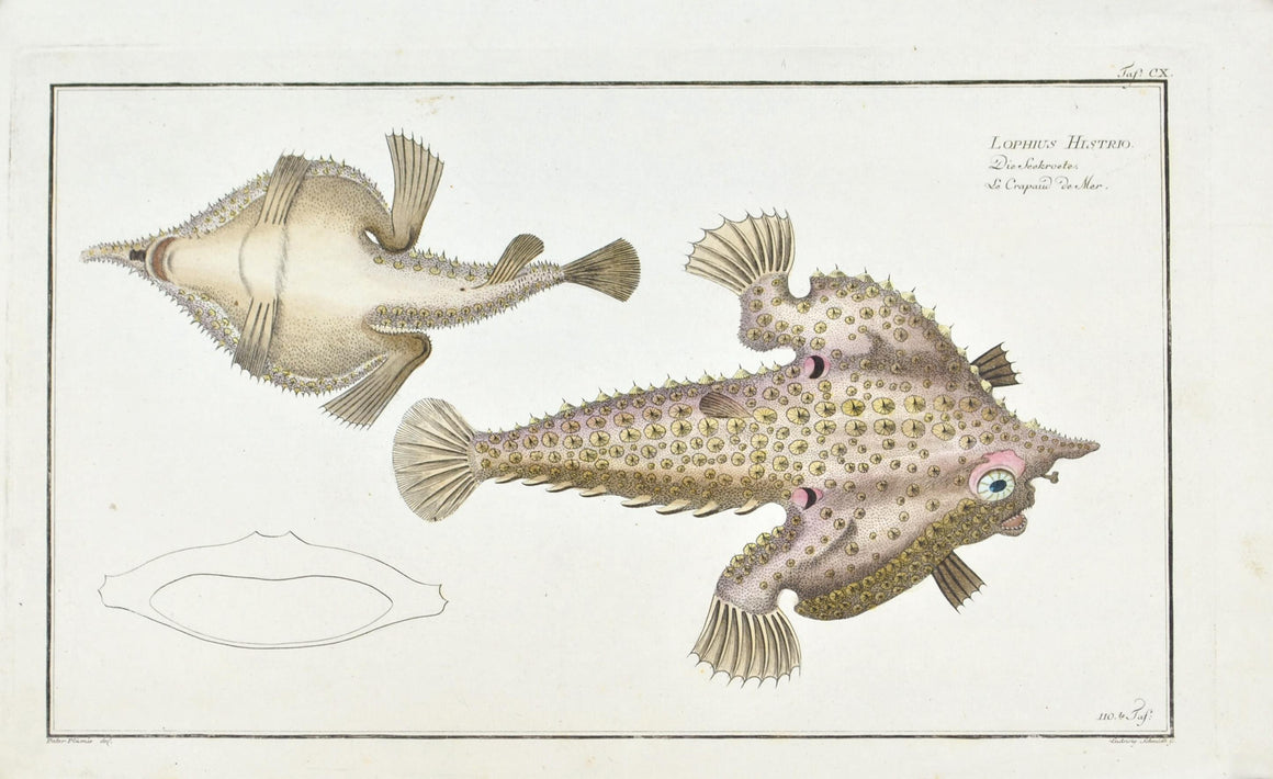 The Toad of the Sea by Marcus Bloch c. 1796 Hand Colored Antique Fish Print