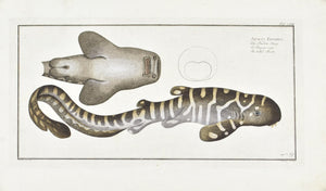 The Belted Shark by Marcus Bloch c. 1796 Hand Colored Antique Fish Print