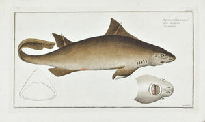 La Centrine (shark) by Marcus Bloch c. 1796 Hand Colored Antique Fish