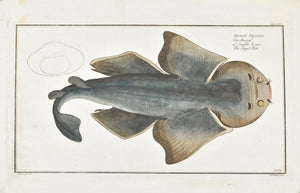 The Angel Fish (shark) by Marcus Bloch c. 1796 Hand Colored Antique Fish Print