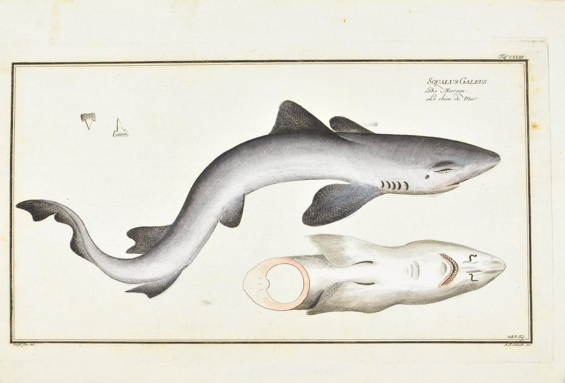 The Dog of the Sea (shark) by Marcus Bloch c. 1796 Antique Fish Print
