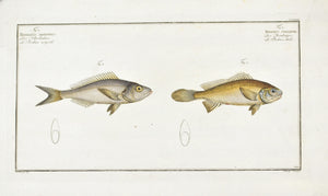 The Bodian Star by Marcus Bloch c. 1796 Hand Colored Antique Fish Print