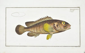 The Grouper by Marcus Bloch c. 1796 Hand Colored Antique Fish Print