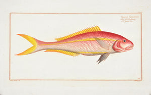 The Gold Tail by Marcus Bloch c. 1796 Hand Colored Antique Fish Print