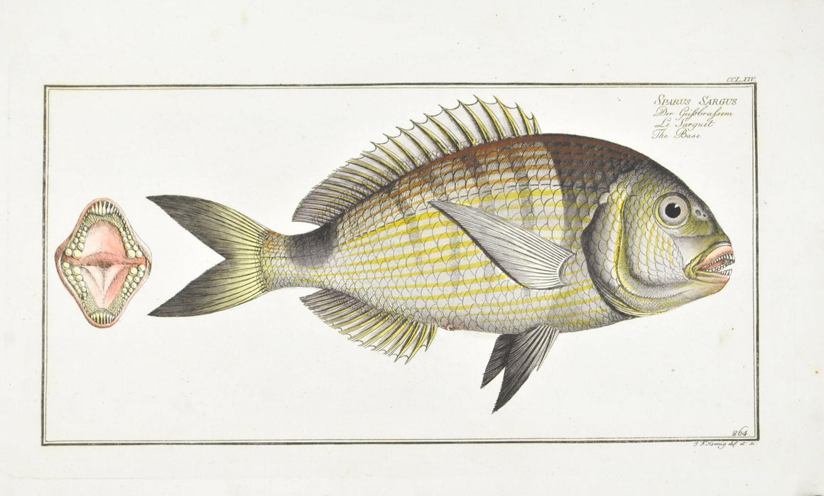 The Base by Marcus Bloch c. 1796 Hand Colored Antique Fish Print