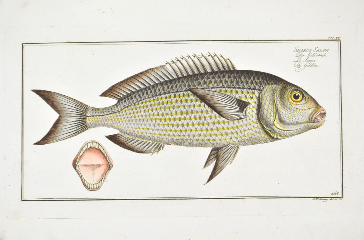 The Goldlin by Marcus Bloch c. 1796 Hand Colored Antique Fish Print