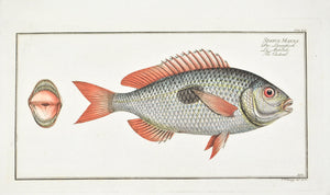 The Cackerel by Marcus Bloch c. 1796 Hand Colored Antique Fish Print