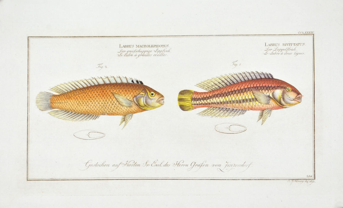 The Two-striped Wrasse by Marcus Bloch c. 1796 Hand Colored Antique Fish Print