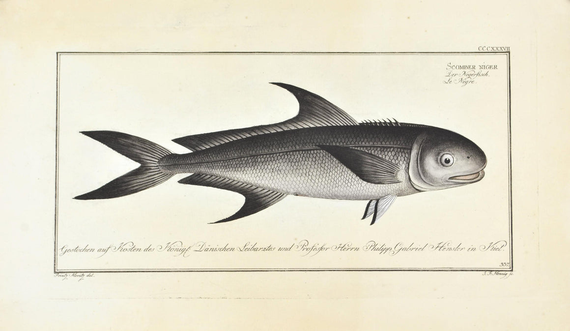 The Black Mackerel by Marcus Bloch c. 1796 Hand Colored Antique Fish Print