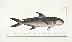 The Black Mackerel by Marcus Bloch c. 1796 Antique Fish Print