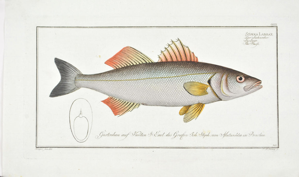 The Basse by Marcus Bloch c. 1796 Hand Colored Antique Fish Print