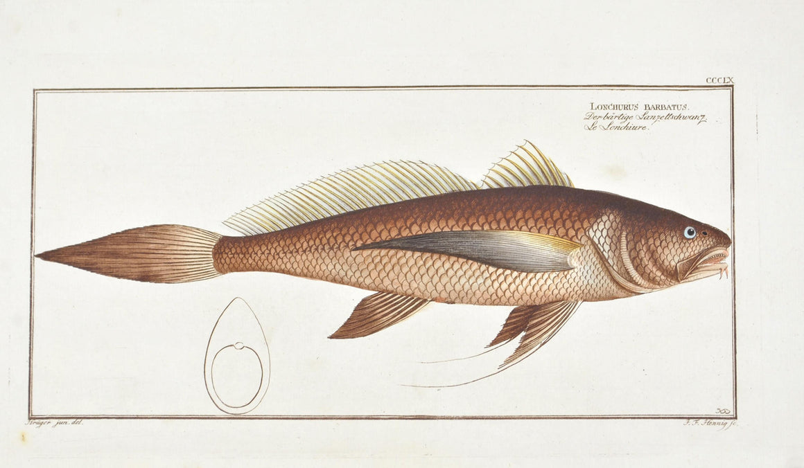 The Bearded Lancet Tail by Marcus Bloch c. 1796 Hand Colored Antique Fish Print