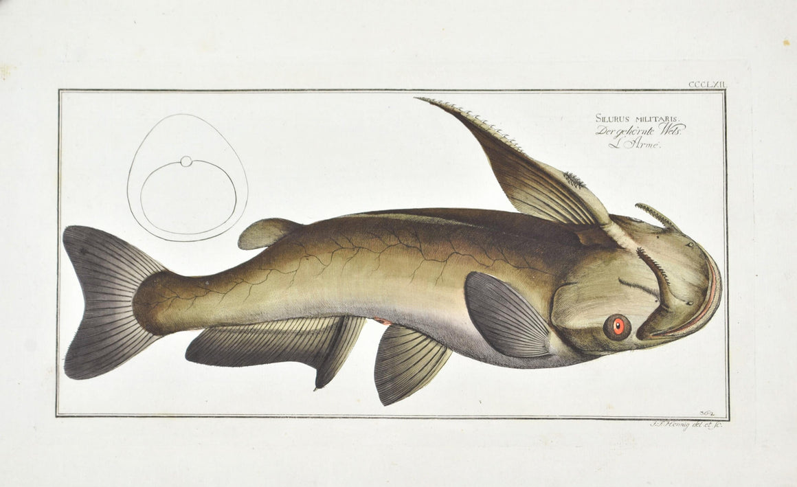 Horned Silure (Catfish) by Marcus Bloch c. 1796 Hand Colored Antique Fish Print