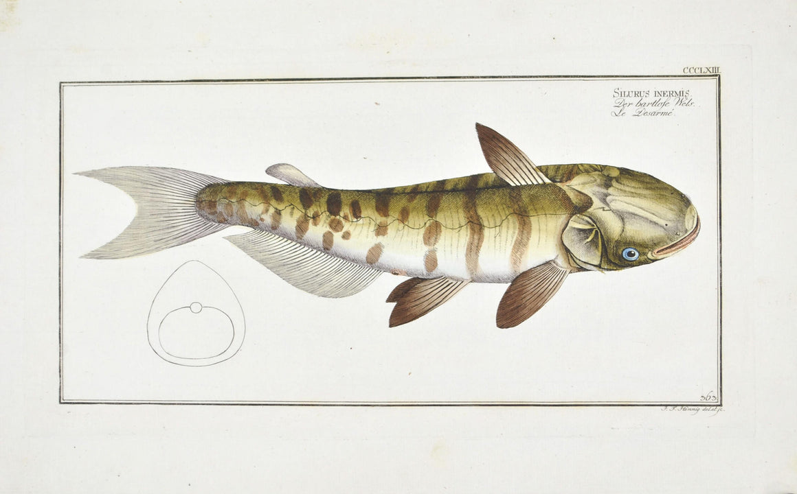 Unbarbed Silure (Catfish) by Marcus Bloch c. 1796 Hand Colored Fish Print