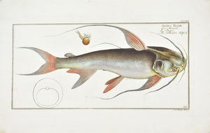 Saltwater Katfish by Marcus Bloch c. 1796 Hand Colored Antique Fish Print