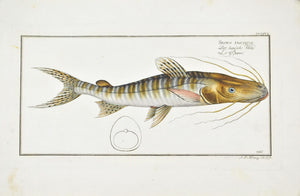 Streaked Silure (Catfish) by Marcus Bloch c. 1796 Hand Colored Fish