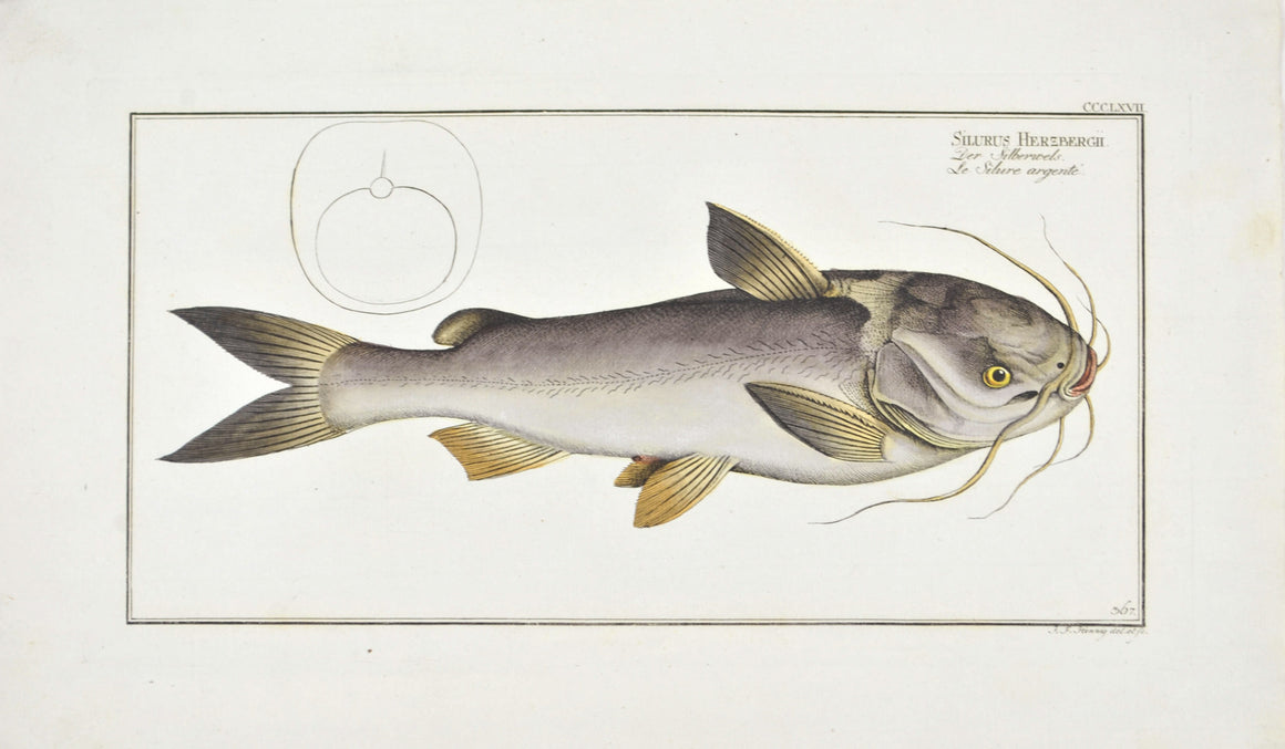 Silver-Silure (Catfish) by Marcus Bloch c. 1796 Hand Colored Antique Fish Print