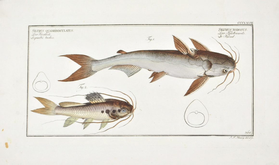 Knotty Silure (Catfish) by Marcus Bloch c. 1796 Hand Colored Antique Fish Print