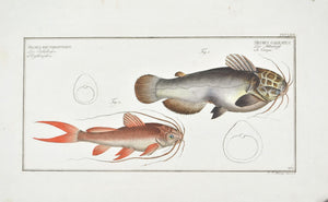 Helmed Silure (Catfish) by Marcus Bloch c. 1796 Hand Colored Antique Fish Print