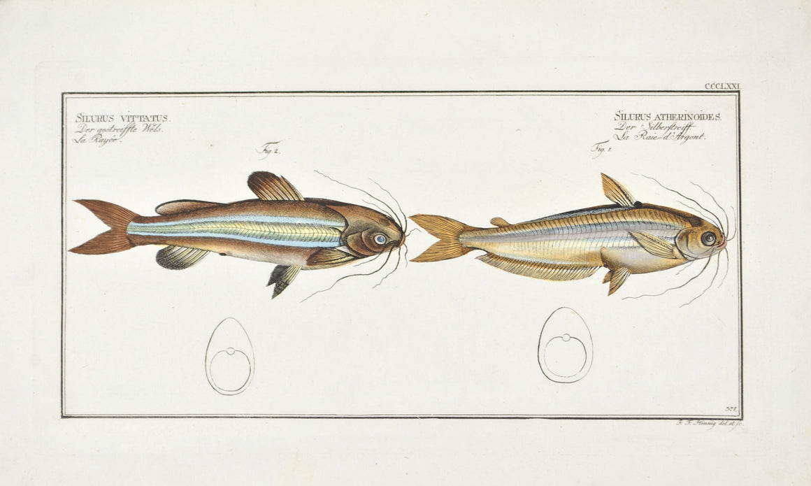 Silver Stripe (Catfish) by Marcus Bloch c. 1796 Hand Colored Antique Fish Print