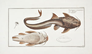 Aspread (Catfish) by Marcus Bloch c. 1796 Hand Colored Antique Fish Print