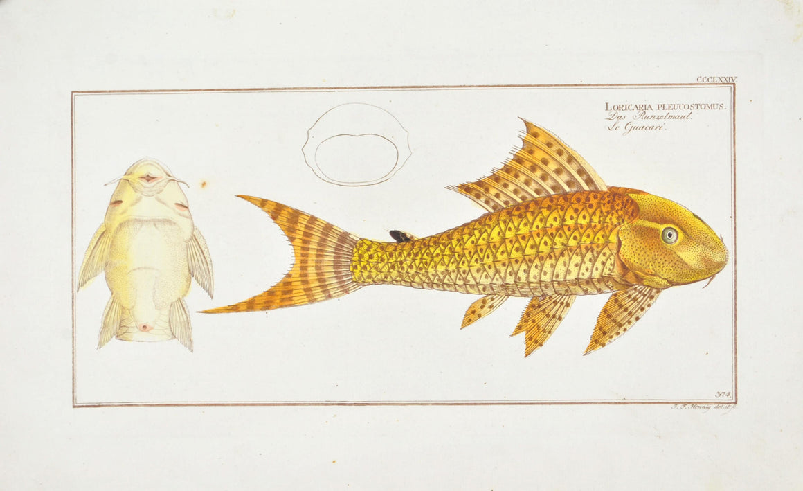 Guacari (Catfish) by Marcus Bloch c. 1796 Hand Colored Antique Fish Print