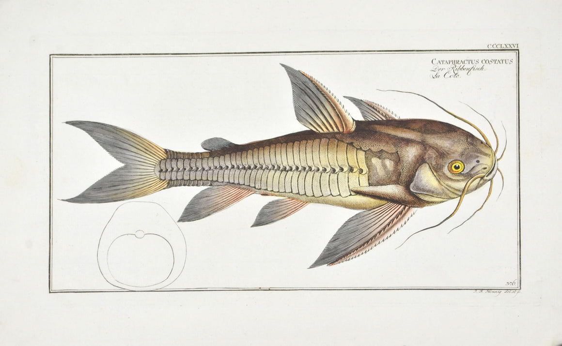 Rib-fish (Catfish) by Marcus Bloch c. 1796 Hand Colored Antique Fish Print