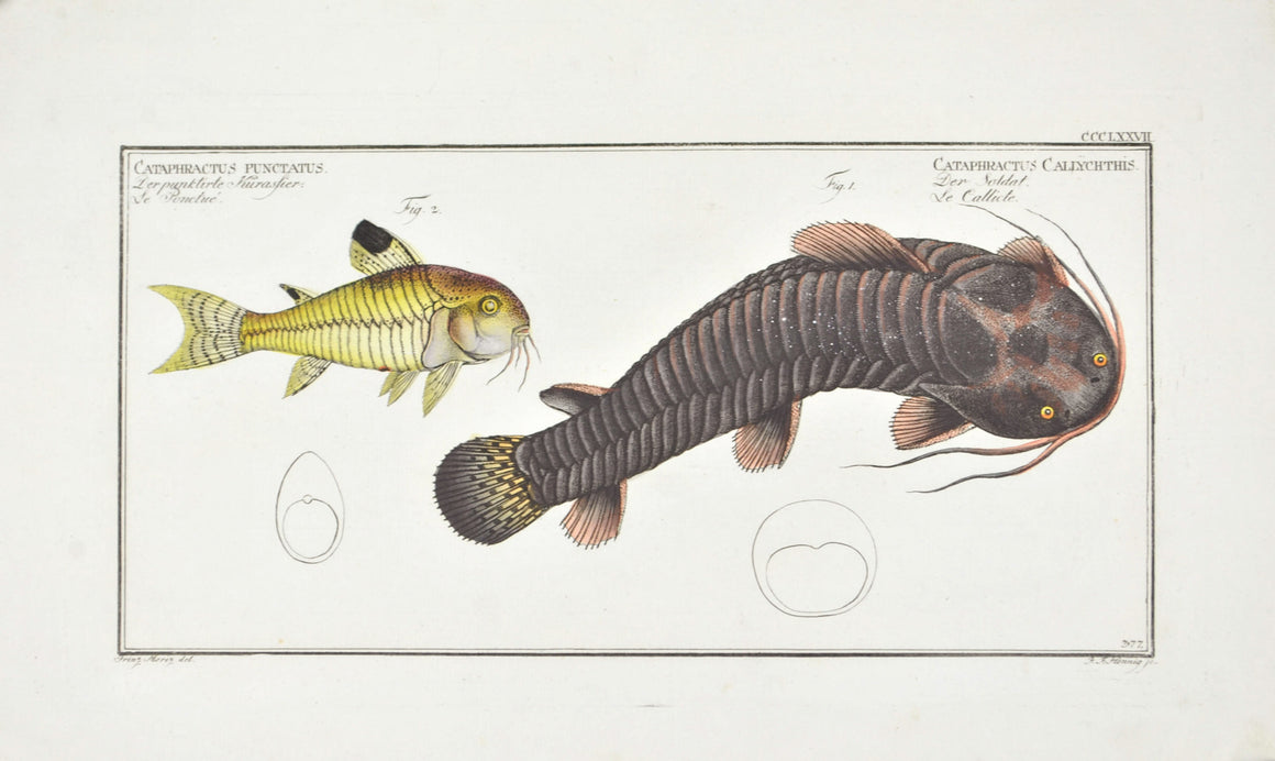 Tamoate (Catfish) by Marcus Bloch c. 1796 Hand Colored Antique Fish Print