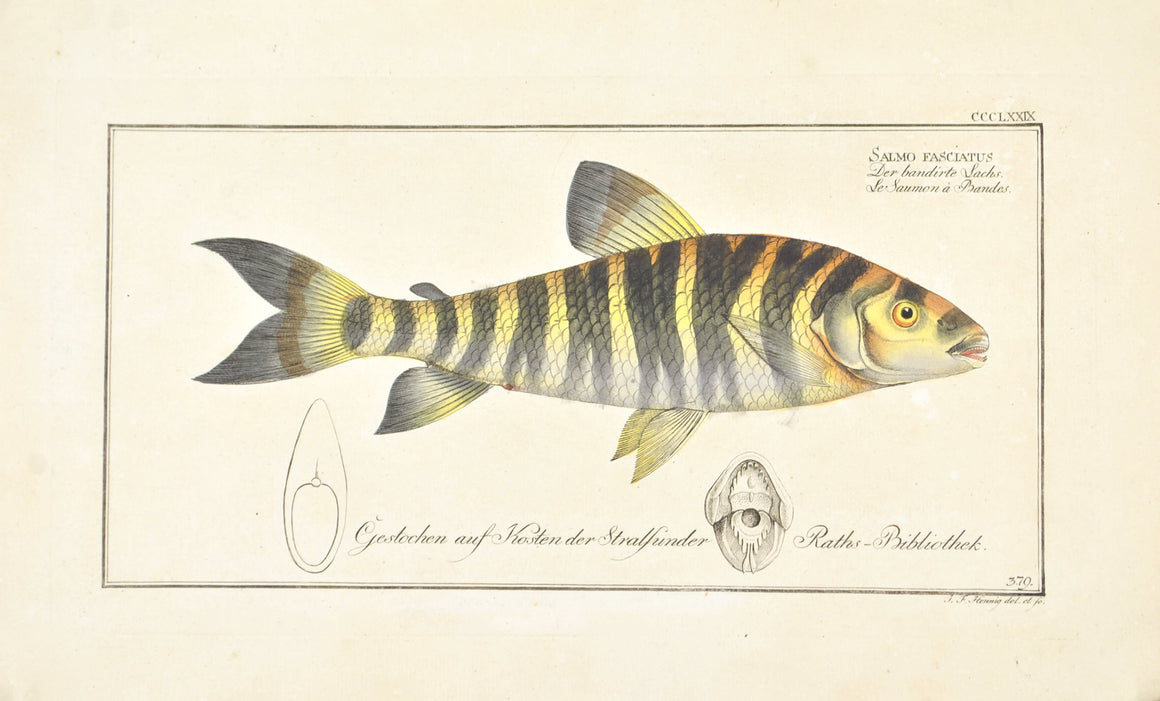 Streaked Salmon by Marcus Bloch c. 1796 Hand Colored Antique Fish Print