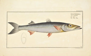 Sea-Pike by Marcus Bloch c. 1796 Hand Colored Antique Fish Print