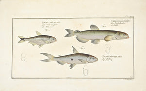 Capelan by Marcus Bloch c. 1796 Hand Colored Antique Fish Print