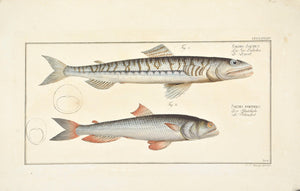 Sea-Lizard by Marcus Bloch c. 1796 Hand Colored Antique Fish Print