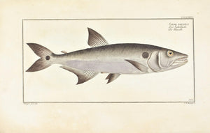Sickle Salmon by Marcus Bloch c. 1796 Hand Colored Antique Fish Print