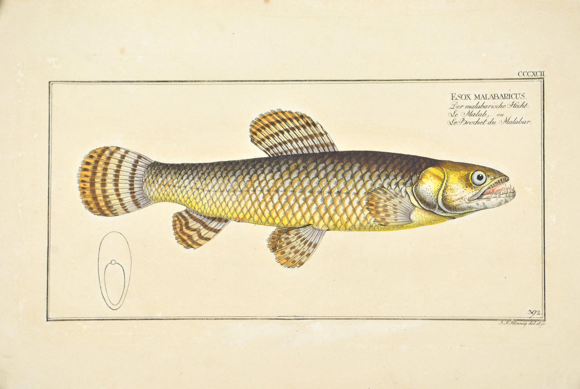 Pike of Malabar by Marcus Bloch c. 1796 Hand Colored Antique Fish Print