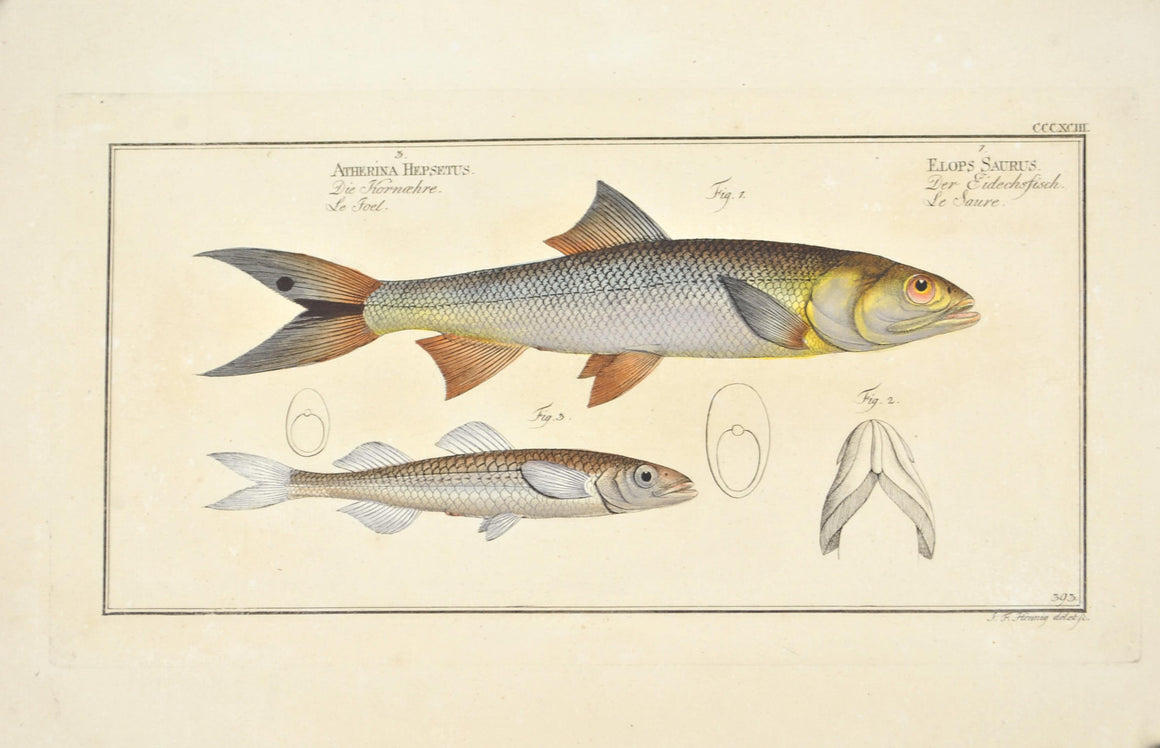 Saure by Marcus Bloch c. 1796 Hand Colored Antique Fish Print