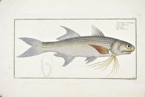 Kalamin by Marcus Bloch c. 1796 Hand Colored Antique Fish Print
