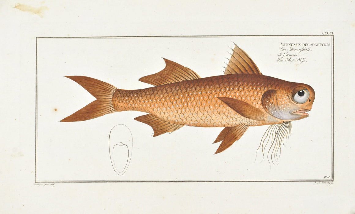 Flat-Nose by Marcus Bloch c. 1796 Hand Colored Antique Fish Print