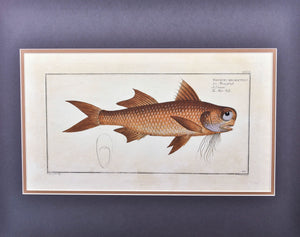 Flat-Nose by Marcus Bloch c. 1796 Hand Colored Antique Fish Print Matted