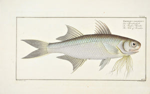 Fish of Paradise by Marcus Bloch c. 1796 Hand Colored Antique Fish