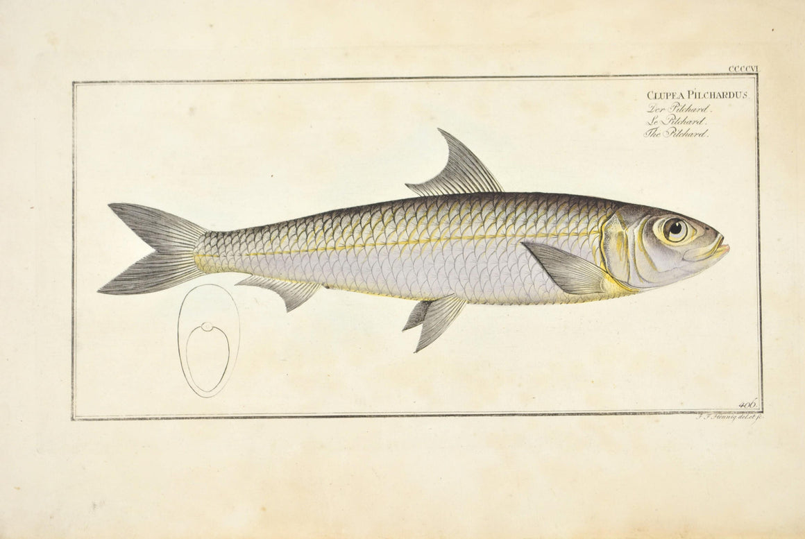 Pilchard by Marcus Bloch c. 1796 Hand Colored Antique Fish Print