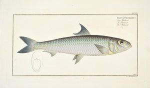 Pilchard by Marcus Bloch c. 1796 Hand Colored Antique Fish Print B