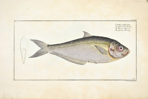 African Herring by Marcus Bloch c. 1796 Hand Colored Antique Fish Print