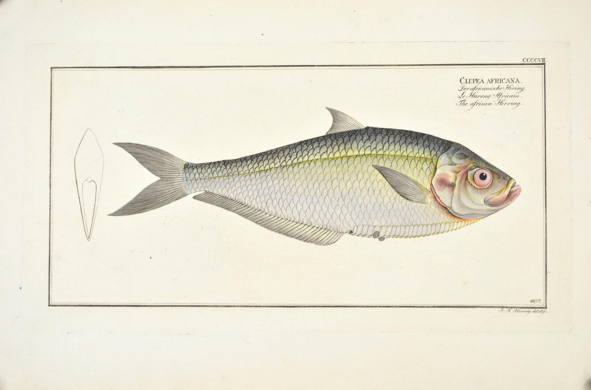 African Herring by Marcus Bloch c. 1796 Hand Colored Antique Fish Print B